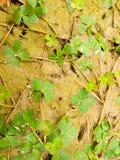Portret koniczynowa roślina Fotografia Stock
