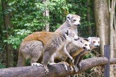 Portret koronowany lemura Eulemur coronatus Ankarana park narodowy Koronowany lemur jest endemiczny susi deciduous lasy obraz stock