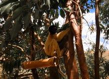 Portret koronowany sifaka Propithecus aka coronatus przy lemurami parki, Antananarivo, Madagascar obraz stock