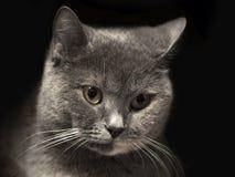 Portret kot Zdjęcie Royalty Free
