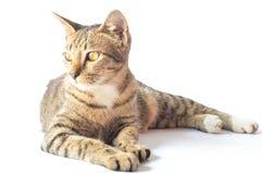 Portret kot przyglądająca strona Obrazy Stock
