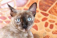 Portret kot twarz, Azja kot twarz, Duży oko kota zakończenie, piękno kot śliczny Obraz Royalty Free