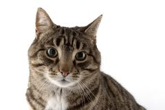 portret kota zdjęcie royalty free