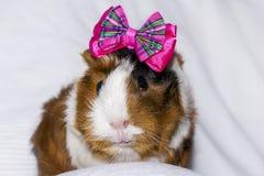 Portret królik doświadczalny Zdjęcia Royalty Free