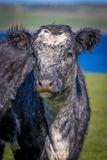 Portret krowa Fotografia Stock