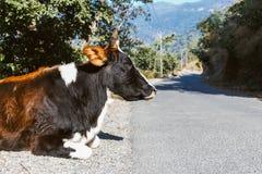 Portret krowa, na drodze blisko Rishikesh Zdjęcie Royalty Free