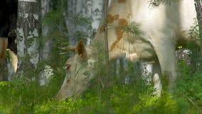 Portret krowa na tle pole Piękna śmieszna krowa na krowy gospodarstwie rolnym Krowy jeść jaskrawy - zielonej trawy zakończenie up Obrazy Royalty Free