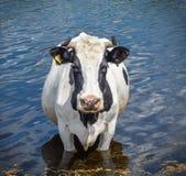 Portret krowa na tle rzeka Czarny i biały śmieszna krowa na krowy gospodarstwie rolnym Krowa stojak w wodzie Fotografia Royalty Free