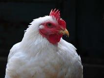 Portret kurczak Fotografia Stock