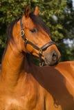 Portret KWPN koń Fotografia Royalty Free