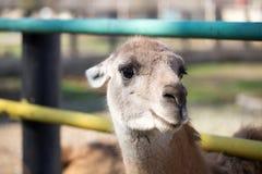 Portret lama w zoo Zdjęcie Royalty Free