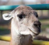 Portret lama w zoo Fotografia Stock