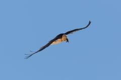 Portret latający dorosły brodatego sępa Gypaetus barbatus dowcip Zdjęcie Stock