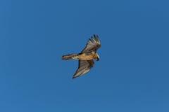 Portret latający dorosły brodatego sępa Gypaetus barbatus dowcip Fotografia Stock