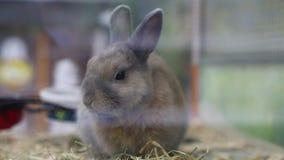 Portret leuk konijn die hooi eten stock videobeelden
