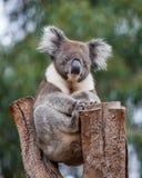 Portret leuke Australische Koala met grote harige oren die in een eucalyptusboom zitten en met nieuwsgierigheid kijken stock afbeeldingen