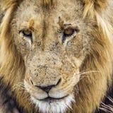 Portret lew w Kruger parku narodowym, Południowa Afryka Fotografia Stock