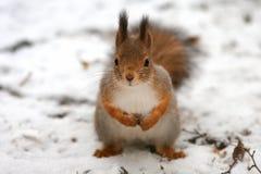 Portret śliczne puszyste wiewiórki Zdjęcia Stock