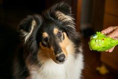 Portret śliczny collie z nim jest zabawkarski Zdjęcie Royalty Free