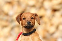Portret śliczny doggy Obraz Stock