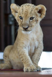 Portret śliczny lwa lisiątka obsiadanie Zdjęcia Stock
