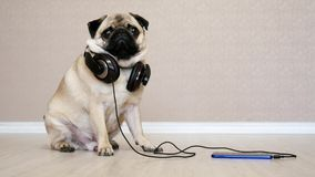 Portret ?liczny, ?mieszny mopsa pies w he?mofonach s?ucha muzyk?, zaskakuj?cy pies zdjęcie wideo