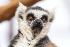 Portret ?liczny ringowy ogoniasty lemur, lemur Catta zdjęcia royalty free