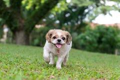Portret śliczny Shih Tzu pies Zdjęcie Royalty Free