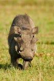 Portret śliczny warthog Zdjęcie Stock