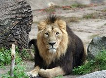 portret lwa Zdjęcia Royalty Free