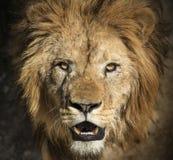 portret lwa Obraz Stock