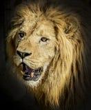 portret lwa Zdjęcie Royalty Free