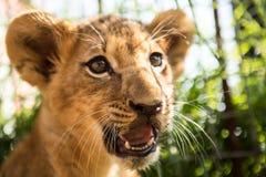Portret lwa lisiątko Zdjęcia Royalty Free