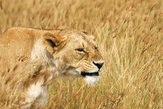 Portret lwica Zdjęcia Royalty Free