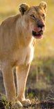 Portret lwica Zakończenie Kenja Tanzania Maasai Mara kmieć Obrazy Stock