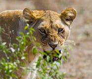 Portret lwica Zakończenie Kenja Tanzania Maasai Mara kmieć Obraz Stock