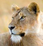 Portret lwica Zakończenie Kenja Tanzania Maasai Mara kmieć Zdjęcie Royalty Free