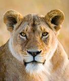 Portret lwica Zakończenie Kenja Tanzania Maasai Mara kmieć zdjęcia stock