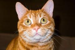 Portret mądrze czerwony kot zdjęcia stock