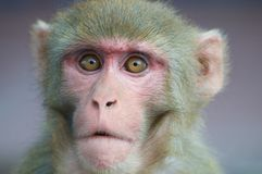 Portret mądrze przyglądająca małpa fotografia stock