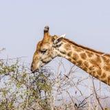 Portret męska żyrafa w Kruger parku, Południowa Afryka Zdjęcia Stock