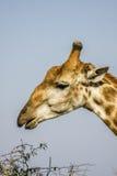 Portret męska żyrafa w Kruger parku, Południowa Afryka Obrazy Stock