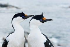 Portret męski i żeński Antarktyczny błękitnooki kormoran. Zdjęcia Stock