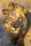 Portret Męski lew, Południowa Afryka Obrazy Royalty Free