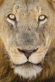Portret Męski lew, Południowa Afryka Fotografia Stock