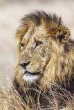 Portret Męski lew w Kruger parku narodowym, Południowa Afryka Fotografia Royalty Free