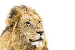 Portret Męski lew w Kruger parku narodowym, Południowa Afryka Zdjęcie Royalty Free