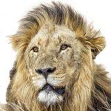 Portret Męski lew w Kruger parku narodowym, Południowa Afryka Obrazy Royalty Free