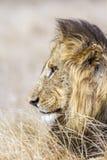 Portret męski lew w Kruger parku, Południowa Afryka Obraz Stock