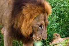 Portret męski lew z żeńskim partnerem w zwartej trawy Krajowych południe Afryka Obraz Royalty Free